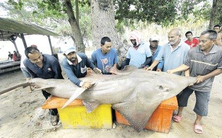 ORANG ramai melihat ikan yu kemejan yang berjaya ditangkap oleh nelayan di perairan Kampung Chempaka, Kuantan semalam.